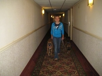 Amie walking Allie and Bruno the Boxers down a hallway