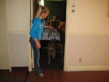 Amie leading Allie and Bruno the boxers out of the hotel room