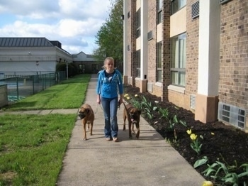 Amie leading Allie and Bruno on a walk
