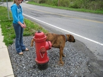 Bruno the Boxer peeing on the fire hydrant as Amie holds his leash