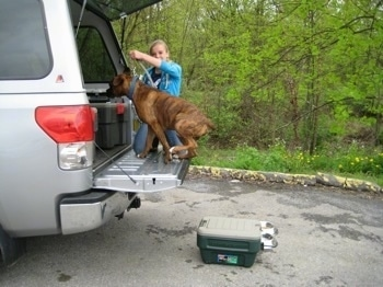 Bruno the Boxer jumping into the tailgate of a truck as Amie holds his leash with the action packer container on the ground