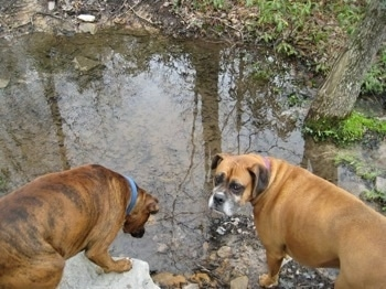 Bruno the Boxer looking at the stream water as Allie turns back to look at the camera holder