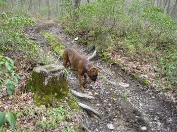 Bruno the Boxer walking down a dirt path on a hill