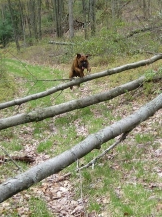 Bruno the Boxer in mid air jumping over a series of logs