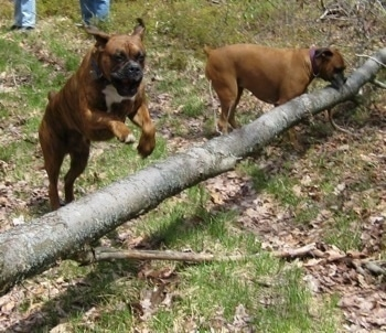 Bruno the Boxer jumping over a big log. Allie the Boxer is looking at the log