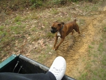 Bruno the Boxer speeding up to catch the 4x4 Polaris Ranger