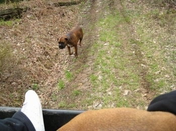 Bruno the Boxer running after the 4x4 Polaris Ranger