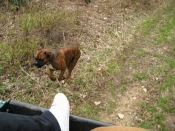 Bruno the Boxer running almost caught up to the 4x4 Polaris Ranger