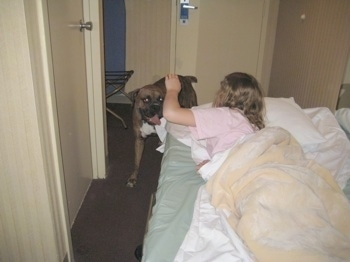 Bruno the Boxer being pet by Sara who is laying in bed