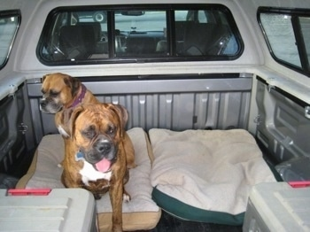 Allie and Bruno the Boxer sitting on a dog bed in the back of a pick-up truck that has a cap on it