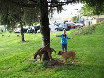 Bruno the Boxer peeing against a tree as Amie holds his and Allie's leashes