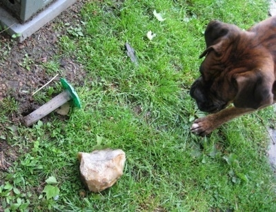 Bruno the Boxer standing next to a termite insecticide stick which is on the ground
