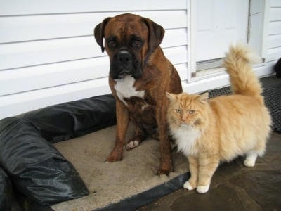 Bruno the Boxer sitting next to Pumpkin the cat on the outside porch dog bed