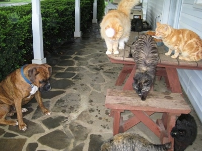 Bruno the Boxer looking at 5 cats who are all around the cat food on the cat table on the porch