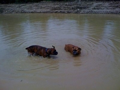 Allie and Bruno the Boxer standing in the middle of the pond, Bruno is shaking off his coat and Allie is watching