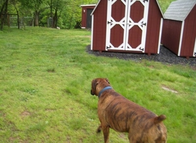 Bruno the Boxer walking past storage sheds towards the woods