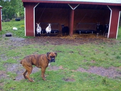 Bruno the Boxer standing in front of the double goat lean tos with goats in them