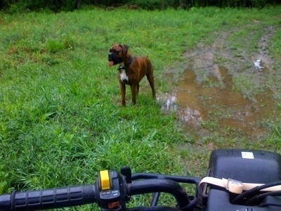 Bruno the Boxer standing in mud in front of a Suzuki quadrunner 160