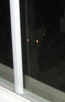 Close Up - Fox with glowing eyes looking through the window