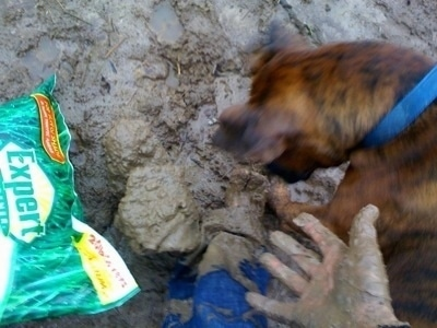Bruno the Boxer jumping into the mud next to the person's muddy foot and hand with a bag of grass seed next to them