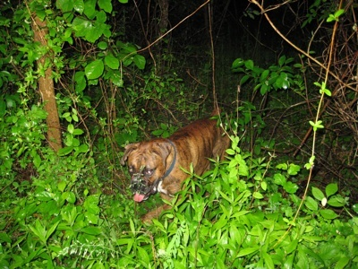 Bruno the Boxer wandering off of the trail in the woods