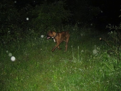 Bruno the Boxer running along the trail at night