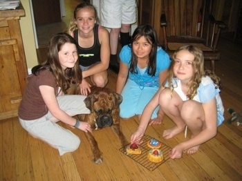 Bruno the Boxer staring at the cakes placed in front of him, while 5 people around him are posing for a picture