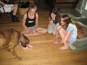 Bruno the Boxer eating the cake while the kids watch