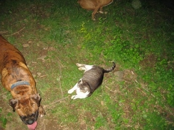 Bruno the Boxer walking next to Trouble the cat who is laying down in the feild