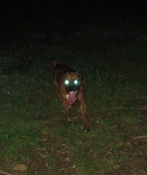 Bruno the Boxer running on hike. The photo makes it look like he has glowy eyes