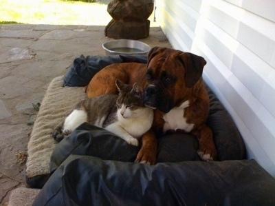 Bruno the Boxer laying on the outside bed with a cat snuggled up in front of him