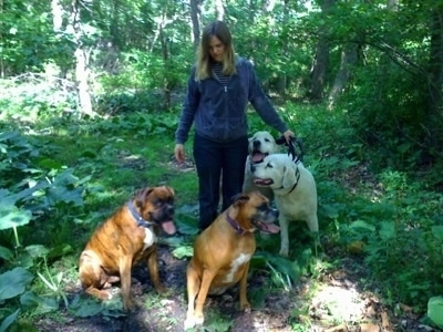 Allie and Bruno the Boxers with Tacoma and Tundra the Great pyrenees on a pack walk with their owner in the woods