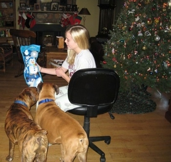 Bruno and Allie the Boxers opening toys with Amie