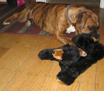 Bruno the Boxer playing with his new stuffed bear