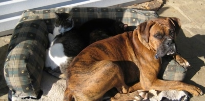 Bruno the Boxer in an outside dog bed laying with two cats