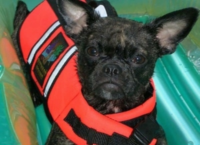 Close Up - Bailey the Buggs wearing a red life Jacket on a green floatie and looking at the camera holder