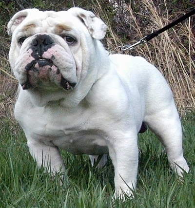 English Bulldog Puppies on Boss  A 2 Year Old Male English Bulldog   Courtesy Of Champ Bulldogs