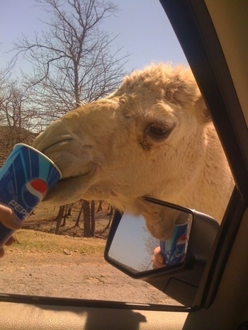 A Camel is drinking out of disposable Pepsi cup which is being held out the window of a car by a person
