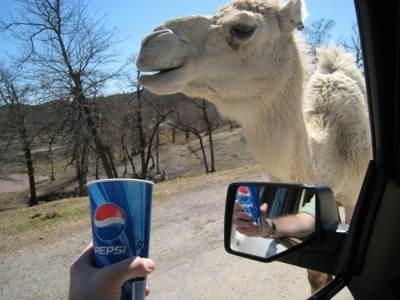 A Camel being given a disposable Pepsi cup to drink out of