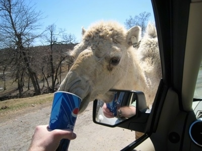 A Camel with a tag that says '83' on its ear drinking out of disposable Pepsi cup which is being held out the window of a car by a person