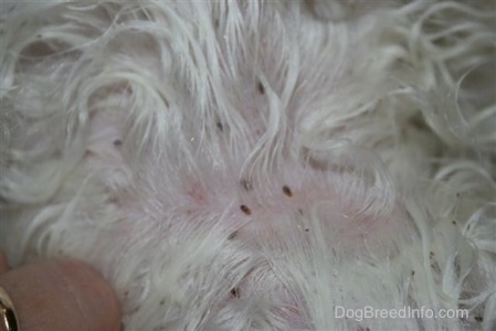 Maltese with canine lice and person with a gold ring splitting the fur to get a better look