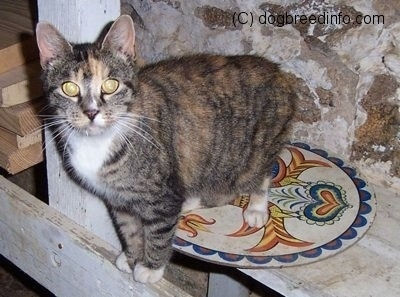 In July of 2002  this cat   Raccoon Cat Hybrid