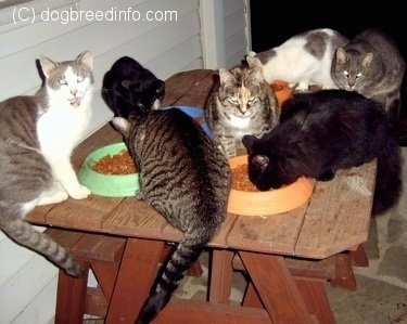 A Cluster of Cats eating Cat Food on a picnic table