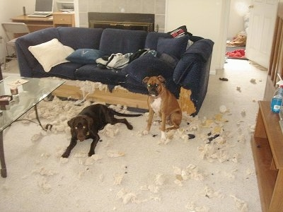Ellie the chocolate Lab and Lola the Boxer sitting and laying in front of a couch in a huge mess. The bottom part of the couch is chewed to the wood and the stuffing is all over the floor