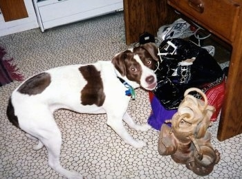 Cricket the Springer Spaniel/Pit Bull Mix is standing in front of a pile of bags and looking up at the camera holder