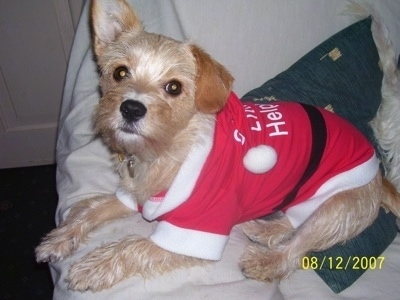 Molly the Cavestie dog wearing a red and white Santa Clause hoodie shirt that says 'Santa's Little Helper' on a couch and looking at the camera holder