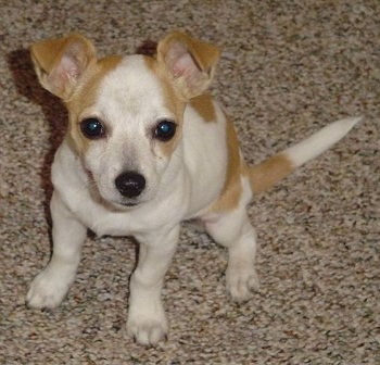 Chestie Dog Breed Information And Pictures