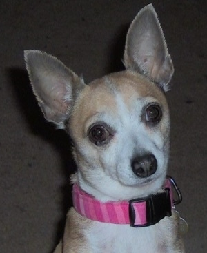 Close Up - Chi-Chi-Belle the tan and white Chihuahua is sitting on a tan carpet. It is wearing a pink necklace