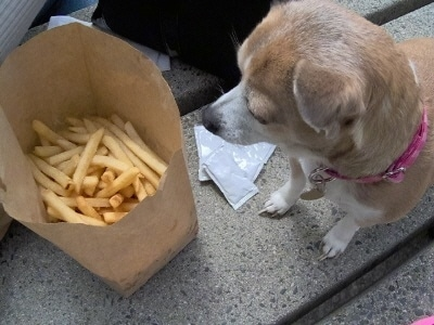 Chi-Chi-Belle the Chihuahua is standing on a stone block looking at a bag of french fries with packets of katchup next to her