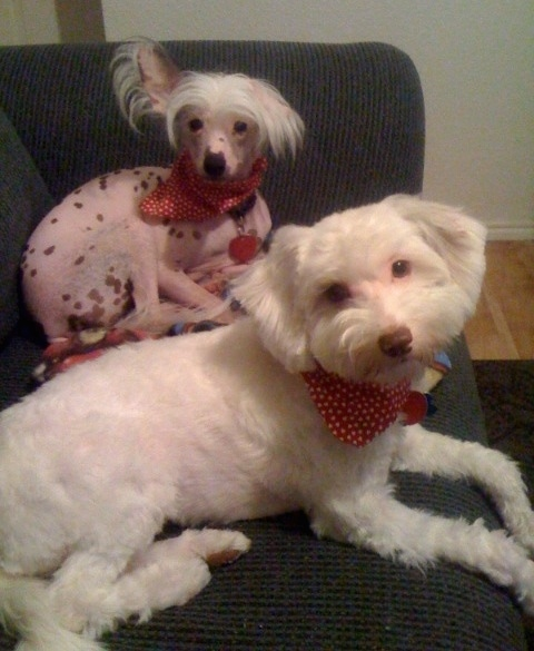 Preston (hairless) and Baxter (powderpuff) the Chinese Crested dogs are laying on a couch and looking to the camera holder